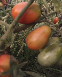 При какой температуре выращивать рассаду томатов в Ставрополе.
