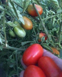 Высеивание семян томата