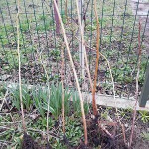 вырастают сильные стебли