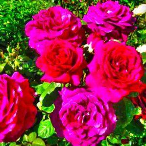 парковые розы в Ставрополе
