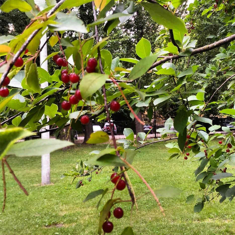 Преимущества войлочная вишня